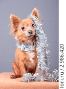 Купить «Очаровательный пес в новогодней мишуре», эксклюзивное фото № 2986420, снято 19 сентября 2018 г. (c) Яна Королёва / Фотобанк Лори