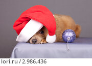 Купить «Очаровательный пес в колпаке Санта-Клауса», эксклюзивное фото № 2986436, снято 16 июля 2019 г. (c) Яна Королёва / Фотобанк Лори