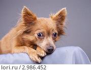 Купить «Портрет  маленькой коричневой собаки», эксклюзивное фото № 2986452, снято 19 сентября 2018 г. (c) Яна Королёва / Фотобанк Лори