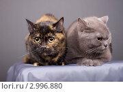 Купить «Кошки», эксклюзивное фото № 2996880, снято 15 ноября 2018 г. (c) Яна Королёва / Фотобанк Лори