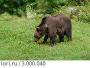 Медведь на зеленой траве. Стоковое фото, фотограф Виталий Куценко / Фотобанк Лори