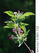 Цветущая ветка яблони. Стоковое фото, фотограф Ковальский Сергей / Фотобанк Лори