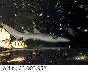 Купить «Петербургский океанариум. Усатая акула-нянька (Nurse shark / Ginglymostoma cirratum) проплывает над прозрачным тоннелем для посетителей», фото № 3003952, снято 29 октября 2011 г. (c) Сергей Дубров / Фотобанк Лори
