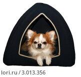 Чихуахуа в домике для собаки. Стоковое фото, фотограф Наталья Степанова / Фотобанк Лори
