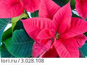 Красные цветы пуансетии. Стоковое фото, фотограф Елена Блохина / Фотобанк Лори