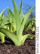 Росток тюльпана. Стоковое фото, фотограф Могиленская Нина / Фотобанк Лори