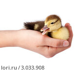 Купить «Утенок на ладони», фото № 3033908, снято 1 июня 2011 г. (c) Василий Вишневский / Фотобанк Лори