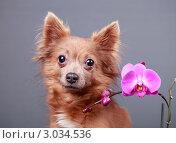 Купить «Портрет собаки с цветком орхидеи», эксклюзивное фото № 3034536, снято 15 ноября 2018 г. (c) Яна Королёва / Фотобанк Лори