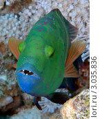 Купить «Тропическая рыба Cheilinus lunulatus», фото № 3035836, снято 8 сентября 2011 г. (c) Андрей Голубев / Фотобанк Лори
