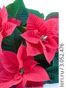 Красные цветы пуансеттии. Стоковое фото, фотограф Елена Блохина / Фотобанк Лори