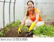 Купить «Женщина в теплице сажает помидоры», фото № 3053000, снято 8 мая 2011 г. (c) Яков Филимонов / Фотобанк Лори
