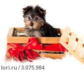 Купить «Щенок Йоркширского терьера в деревянном ящике, перевязанном красным бантом, на белом фоне», фото № 3075984, снято 17 ноября 2011 г. (c) Наташа Чапкайло / Фотобанк Лори