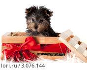 Щенок Йоркширского терьера в деревянном ящике, перевязанном красным бантом, на белом фоне. Стоковое фото, фотограф Наташа Чапкайло / Фотобанк Лори