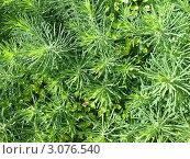Купить «Молочай кипарисовый (Euphorbia cyparissias)», фото № 3076540, снято 5 июля 2011 г. (c) Заноза-Ру / Фотобанк Лори