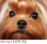 Купить «Портрет йоркширского терьера с длинными ресницами», фото № 3079152, снято 14 ноября 2011 г. (c) Константин Гуща / Фотобанк Лори