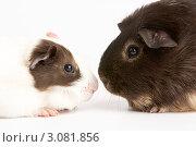 Купить «Две морских свинки мордочками друг другу», фото № 3081856, снято 20 октября 2008 г. (c) Monkey Business Images / Фотобанк Лори