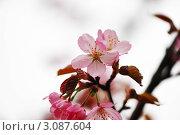 Купить «Цветущая сакура в каплях воды», фото № 3087604, снято 6 мая 2009 г. (c) Николай Охитин / Фотобанк Лори