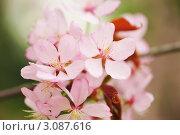Купить «Расцветшая сакура», фото № 3087616, снято 6 мая 2009 г. (c) Николай Охитин / Фотобанк Лори
