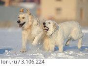 Золотистые ретриверы (лабрадоры)  играют зимой. Стоковое фото, фотограф Антонова Виктория Юрьевна / Фотобанк Лори