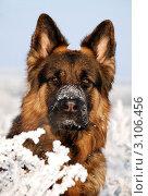 Купить «Портрет собаки породы немецкая овчарка», фото № 3106456, снято 11 января 2008 г. (c) Антонова Виктория Юрьевна / Фотобанк Лори
