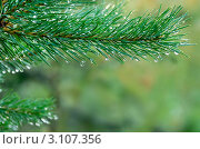 Купить «После дождя. Капли воды на сосне.», фото № 3107356, снято 28 июля 2011 г. (c) Икан Леонид / Фотобанк Лори