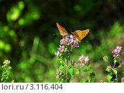 Полевой цветок с двумя бабочками. Стоковое фото, фотограф Владимир Доковски / Фотобанк Лори