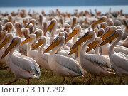 Пеликаны встали в строй и идут покорять Землю. Стоковое фото, фотограф Дмитрий Краснов / Фотобанк Лори