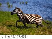 Бегущая зебра. Стоковое фото, фотограф Дмитрий Краснов / Фотобанк Лори