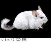 Купить «Белая эбонитовая шиншилла крупно  на черном фоне», фото № 3120188, снято 9 октября 2010 г. (c) Vitas / Фотобанк Лори