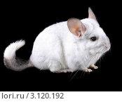Купить «Эбонитовая белая  шиншилла  на черном фоне крупным планом», фото № 3120192, снято 9 октября 2010 г. (c) Vitas / Фотобанк Лори
