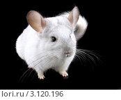 Купить «Эбонитовая белая  шиншилла, изолированно  на черном фоне», фото № 3120196, снято 9 октября 2010 г. (c) Vitas / Фотобанк Лори