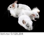 Купить «Эбонитовая белая  шиншилла с детенышами на черном фоне», фото № 3120204, снято 9 октября 2010 г. (c) Vitas / Фотобанк Лори