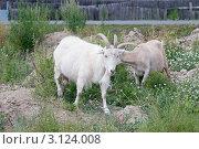 Купить «Пасущиеся козы», эксклюзивное фото № 3124008, снято 6 августа 2011 г. (c) Шичкина Антонина / Фотобанк Лори