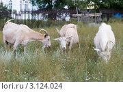 Купить «Пасущиеся козы», эксклюзивное фото № 3124024, снято 6 августа 2011 г. (c) Шичкина Антонина / Фотобанк Лори
