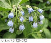 Купить «Окопник  (Symphytum)», фото № 3126092, снято 8 июля 2011 г. (c) Заноза-Ру / Фотобанк Лори