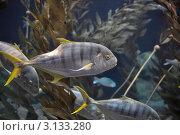 Морской аквариум с желтохвостами. Стоковое фото, фотограф Чернышев Александр Анатольевич / Фотобанк Лори