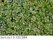 Зеленые листья покрытые инеем. Стоковое фото, фотограф Наталья Степанова / Фотобанк Лори