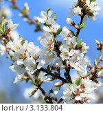 Цветущая вишня. Стоковое фото, фотограф Виниченко Ирина Николаевна / Фотобанк Лори