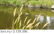 Купить «Утки плавают в озере», видеоролик № 3139396, снято 17 сентября 2011 г. (c) Павел С. / Фотобанк Лори