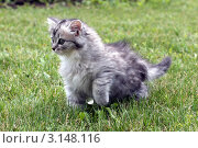 Купить «Серый котенок смотрит вдаль», фото № 3148116, снято 13 июня 2011 г. (c) Ирина Иванова / Фотобанк Лори