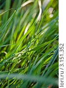 Зелёная трава с каплями росы. Стоковое фото, фотограф Евдокимова Ольга / Фотобанк Лори