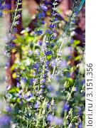 Стебли с синими цветами в саду. Стоковое фото, фотограф Евдокимова Ольга / Фотобанк Лори