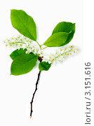 Купить «Ветка цветущей черемухи на белом фоне», фото № 3151616, снято 3 мая 2011 г. (c) Величко Микола / Фотобанк Лори