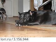 Купить «Чёрная собака лежит на полу», фото № 3156944, снято 14 апреля 2011 г. (c) Кирова Наталья / Фотобанк Лори