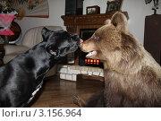 Купить «Собака породы корса и медведь», фото № 3156964, снято 14 апреля 2011 г. (c) Кирова Наталья / Фотобанк Лори