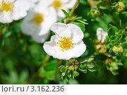 Купить «Лапчатка кустарниковая белая мелкоцветковая (Potentilla fruticosa)», эксклюзивное фото № 3162236, снято 8 июля 2010 г. (c) Алёшина Оксана / Фотобанк Лори