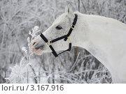 Белая лошадь нюхает травинку в инее. Стоковое фото, фотограф Антонова Виктория Юрьевна / Фотобанк Лори