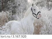 Купить «Белая(серая) лошадь зимой на фоне травы в инее», фото № 3167920, снято 14 января 2012 г. (c) Антонова Виктория Юрьевна / Фотобанк Лори