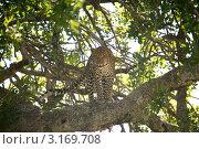 Купить «Леопард на дереве», фото № 3169708, снято 12 ноября 2011 г. (c) Дмитрий Краснов / Фотобанк Лори