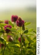 Купить «Красный клевер», фото № 3179000, снято 11 июня 2011 г. (c) Дмитрий Жуков / Фотобанк Лори